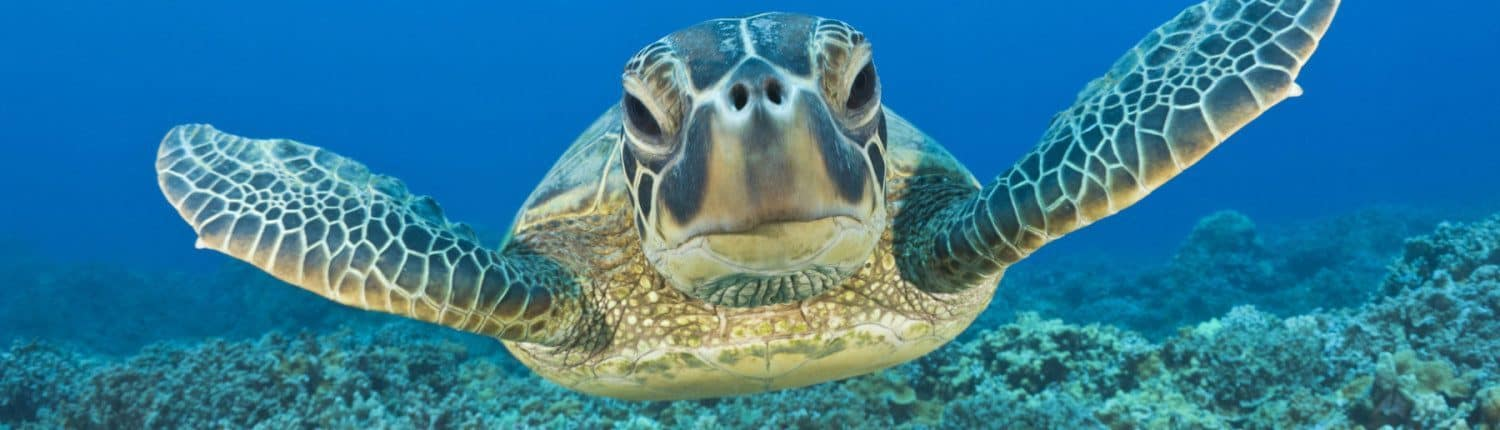 Maui Honu (Turtle) on a scuba dive