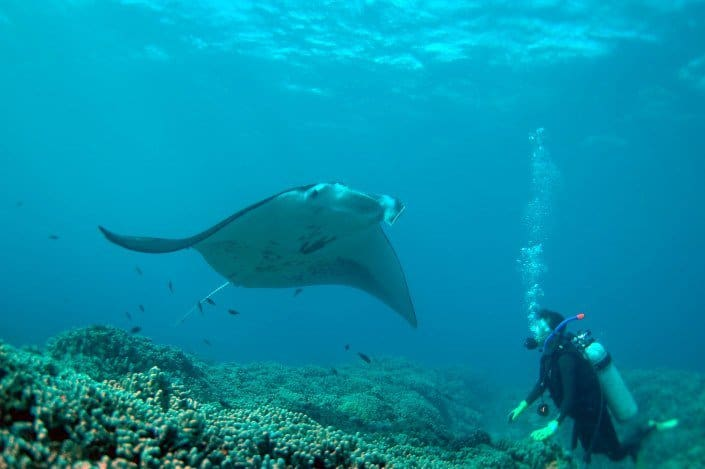 Manta Ray Swims by
