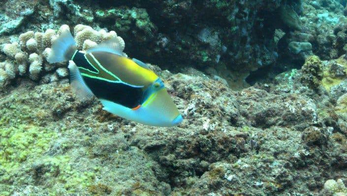 Hawaii's State Fish - Humuhumunukunukuapua'a