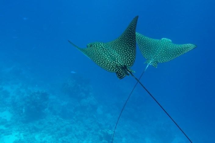 Check out the eagle rays on our scuba dive